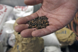 Steve Sloan holds a handful of roasted malt at Roundabout Brewery in Lawrenceville. Photo: Lauren Dantella | Point Park News Service