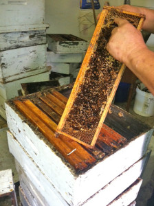 Markovich operates 30 hives for his Bees-R-Us company. Photo: Akasha Chamberlain, Point Park News Service