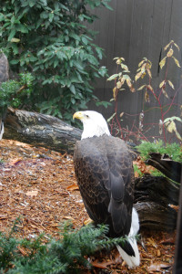 A bald eagle is in its exhibit at the National Aviary. Photo: Emily Balser | Point Park News Service