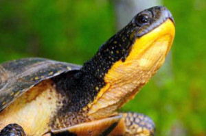 The Blanding's turtle, found only in Erie County, is a threatened species in Pennsylvania. Photo: Center for Biological Diversity