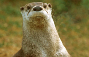 River otter. Photo: Pa. Game Commission