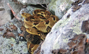 Timber rattlesnakes. Photo: www.fish.state.pa.us