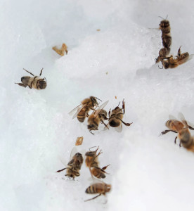 Bees that wander outside the hive usually don't make it for very long in low temperatures. A few are scattered around living hives. Photo: Lauren Dantella | Point Park News Service